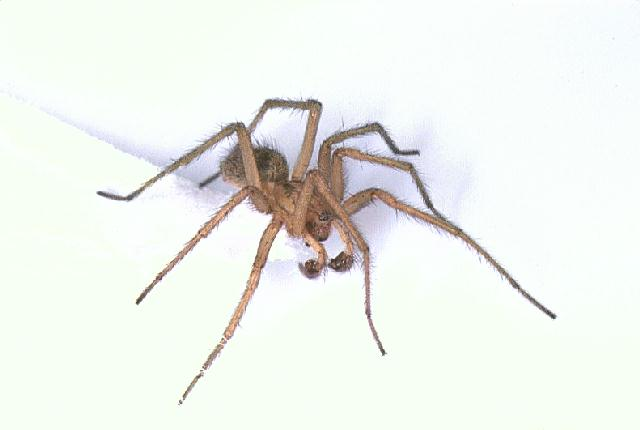 Male Hobo Spider